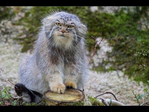 [Masyaallah] Anehnya Pallas Cat