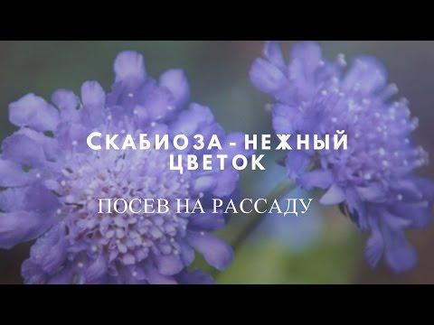 Скабиоза - нежный цветок , замечательное украшение участка.