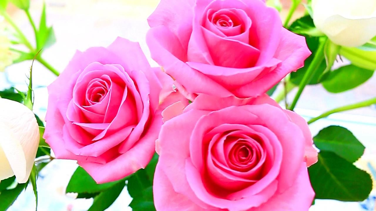 Most Beautiful Rose Flowers Images Daily Health