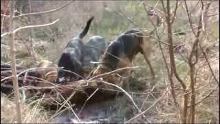 chasse au sanglier au coeur de la traque  avec les chiens de saint hubert en battue