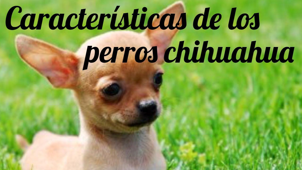 Caracter sticas perro chihuahua informaci n sobre el for Informacion sobre los arquitectos