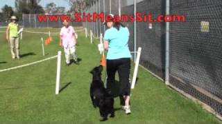 Dog Training  - A Perfect Obedience Score!