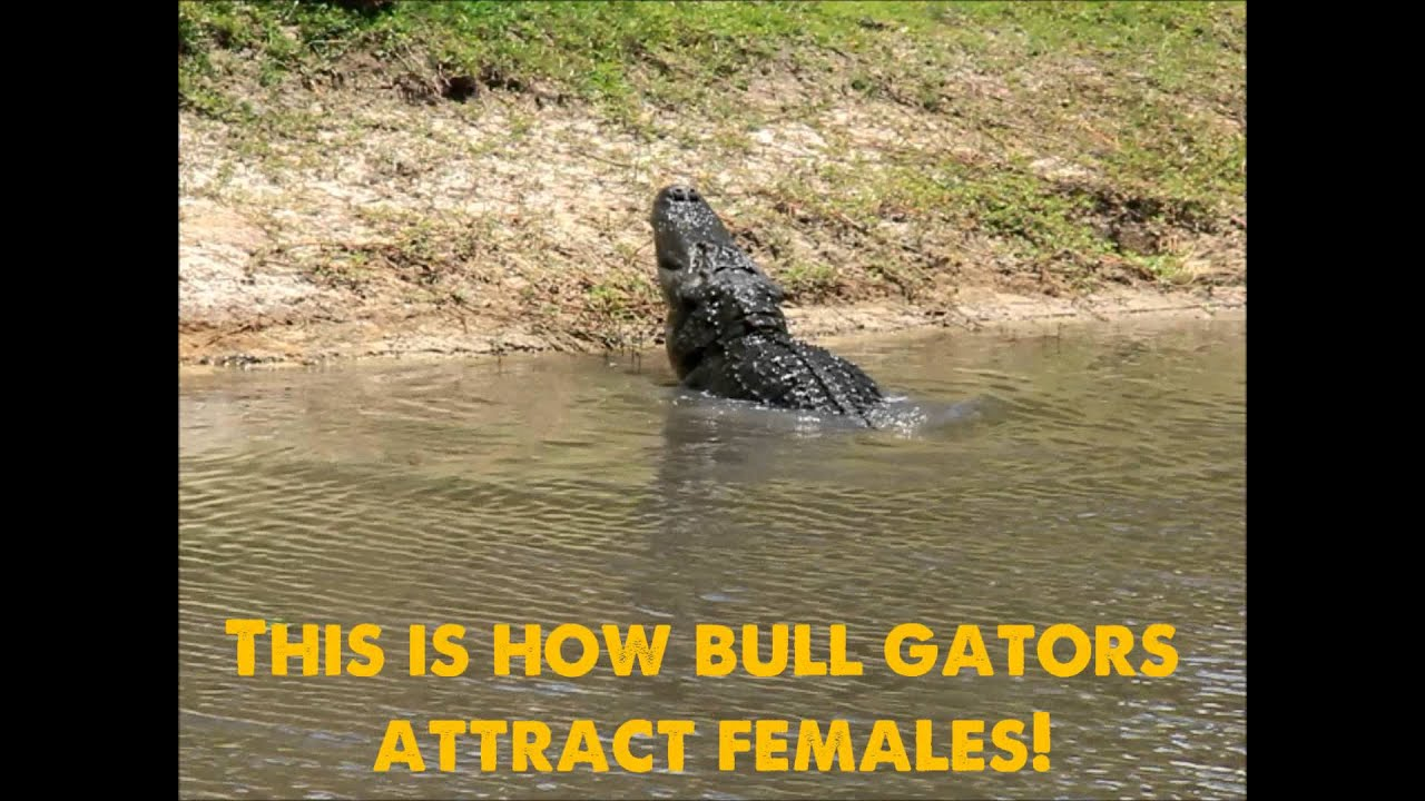 Gators of Wild Florida | Airboat Tours in Orlando | Orlando Airboat Rides