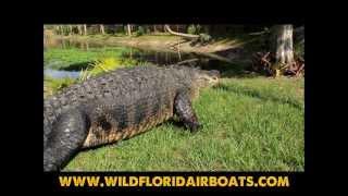 Gators of Wild Florida | Airboat Tours in Orlando | Orlando Airboat Rides