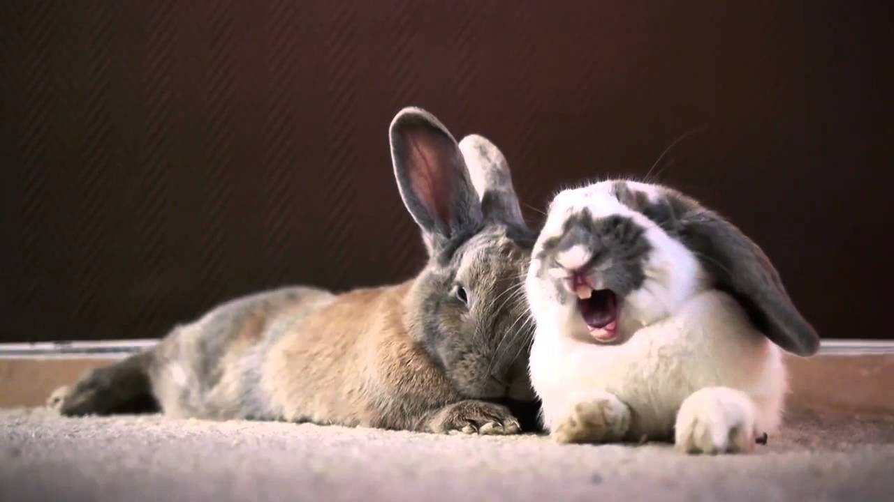 Cute Bunny Yawn Youtube