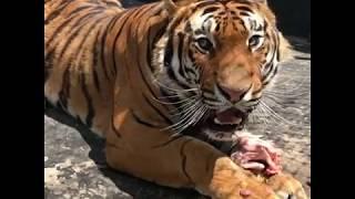Kaplan Kükremesi !!! V8 De Neymiş Bunun Yanında! Tiger Roar!