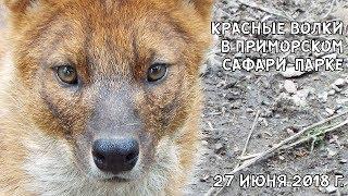 КРАСНЫЕ ВОЛКИ В ПРИМОРСКОМ САФАРИ-ПАРКЕ 27 ИЮНЯ 2018 Г.