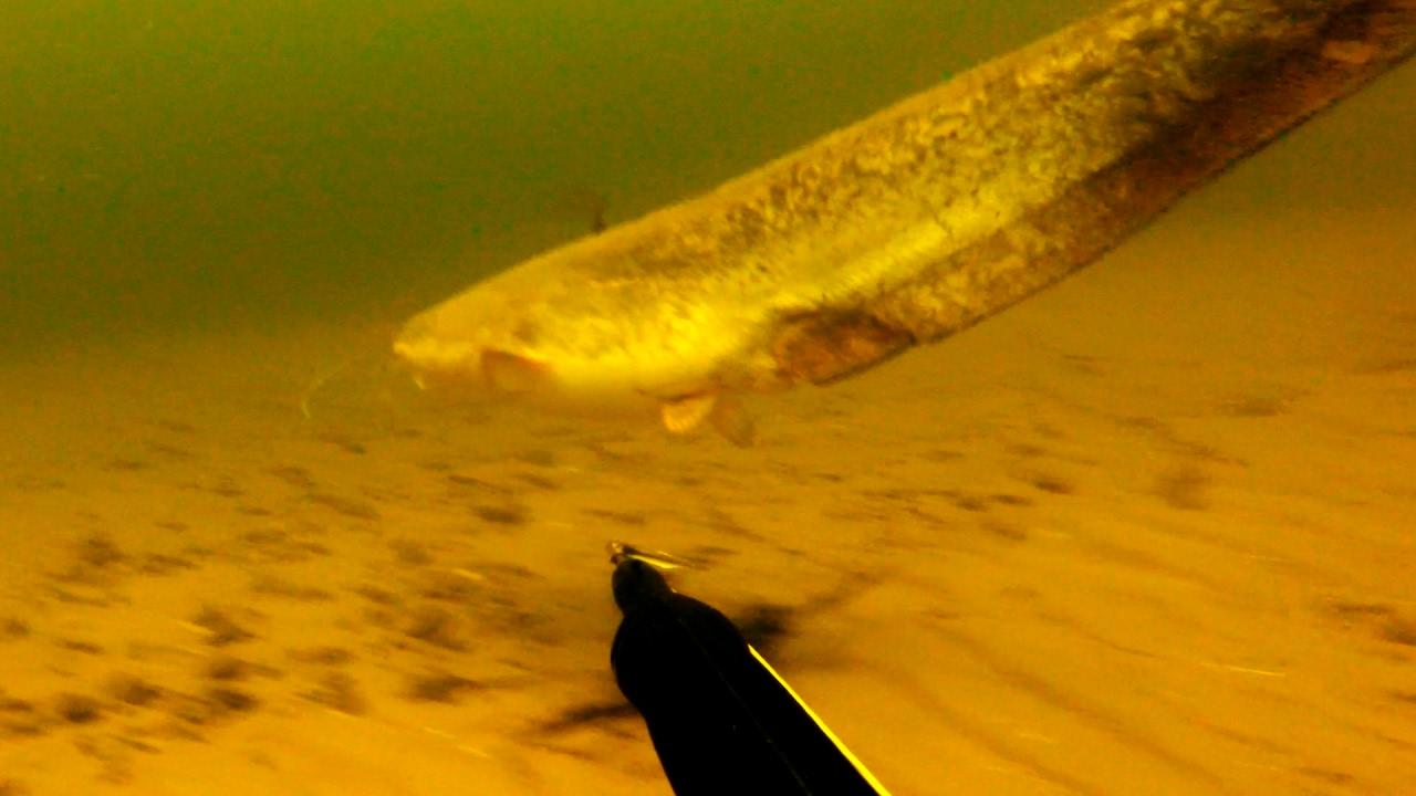 Подводная охота. Усатые летом