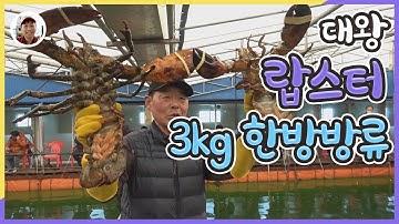 대부도랍스터낚시 3kg 한방 방류타임! 싹쓸히 도전[밀루유떼]