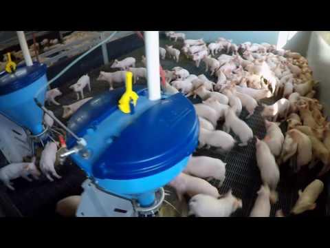 Система индивидуального кормления свиноматок