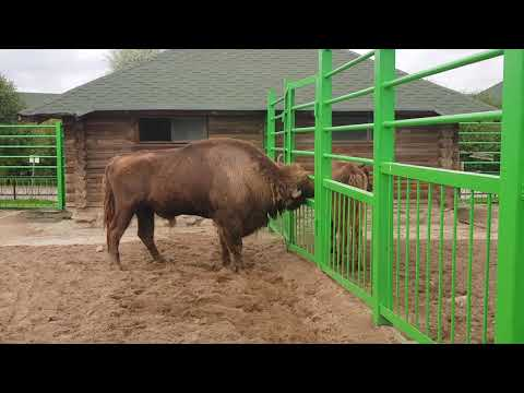 European wisent bull