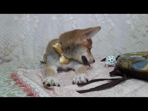 PuppyFinder.com : Smile the yellow Shiba Inu