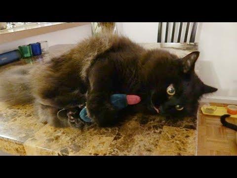 マタタビで酔って壊れるねこ、しおちゃん Theo the cat got drunk with Japanese catnip.
