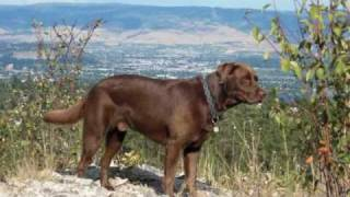 Chocolate Lab Delight, A Big Hearted Handsome Recovery Dog, Cocoa