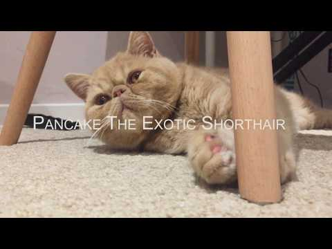 Pancake The Exotic Shorthair Kitten