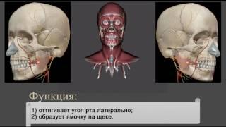 Мышцы головы и шеи