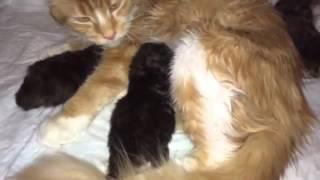 Кошка породы мейн-кун с котятами