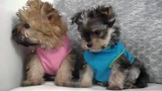 Tiny Toy Morkie Puppies
