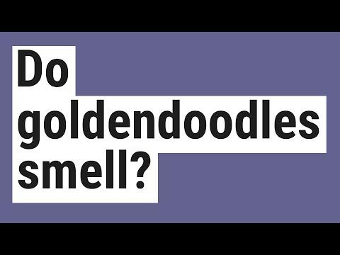 Do Goldendoodles Smell