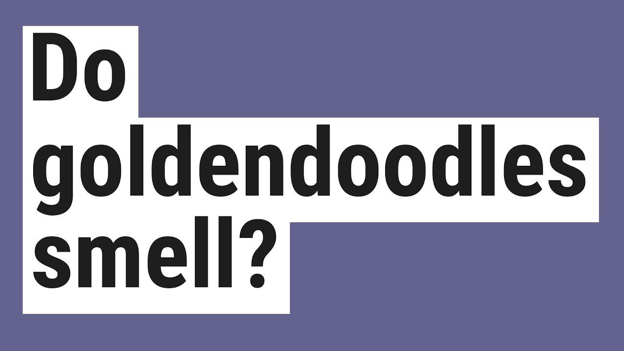 Do Goldendoodles Smell Youtube