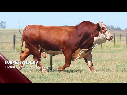 Touro Imperador - Braford indicado para IATF - RENASCER BIOTECNOLOGIA VIDEO