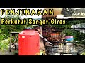 Menjinakkan Perkutut Lokal Suara Perkutut Jawa  Mp3 - Mp4 Download