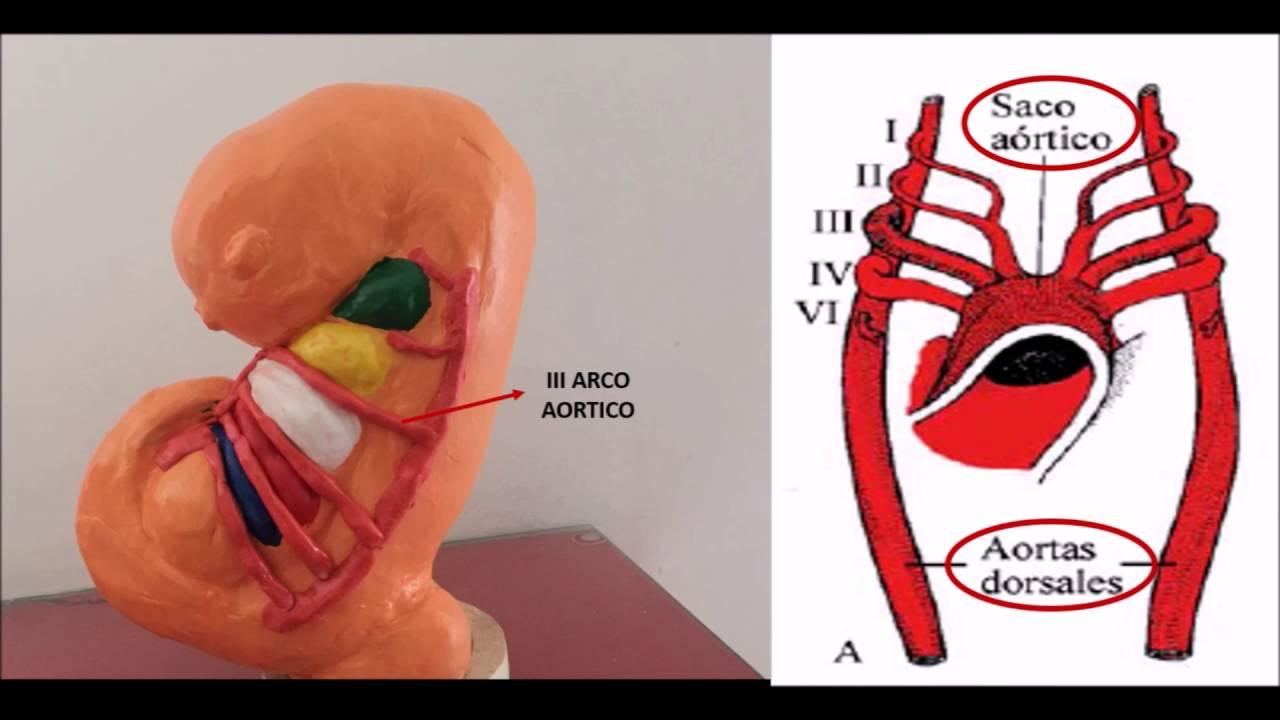 PARTE 3 EMBRIOLOGIA DE ARCOS AORTICOS - YouTube