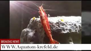 Die Entstehung einer Garnelen Aquariumanlage in einem Kallax Regal.