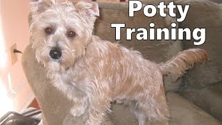 How To Potty Train A Silkchon Puppy - Silkychon House Training Tips - Housebreaking Silkchon Puppies