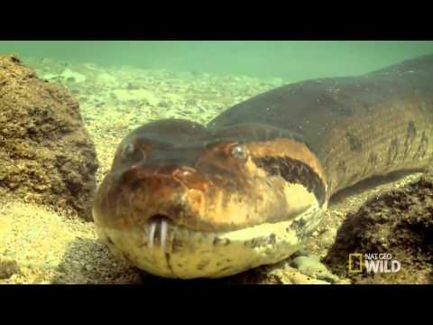 Анаконда срещу крокодил