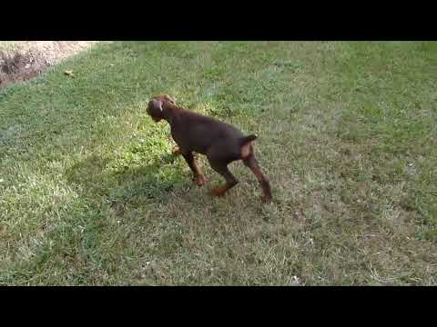 Preacher-champion european bloodlines - Doberman Pinscher Puppy