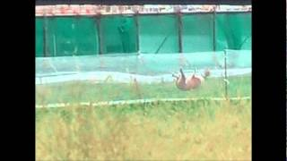 イタリアングレイハウンドのコウです。2009年12月13日、横浜のみなとみ...