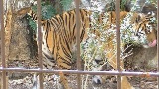 トラがおしっこをする瞬間 / 東山動物園
