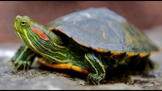 ТОП 10 ошибок при содержании красноухих черепах!⁄TOP 10 mistakes in the content slider turtles!
