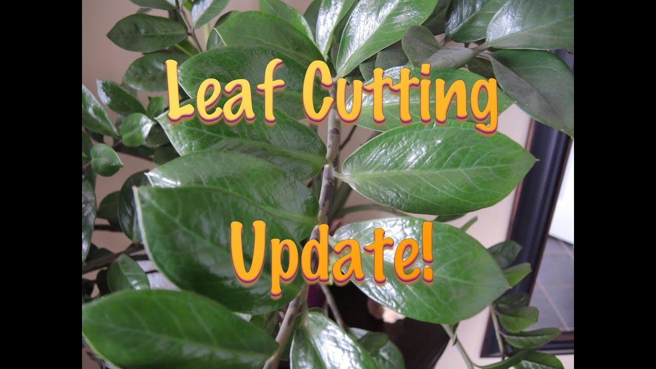 ZZ Plant Leaf cuttings - Update - YouTube