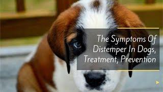 The Symptoms Of Distemper In Dogs, Treatment, Prevention