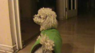 Poodle Toy - Perro GuardiÁn - Videos Graciosos - Bloopers