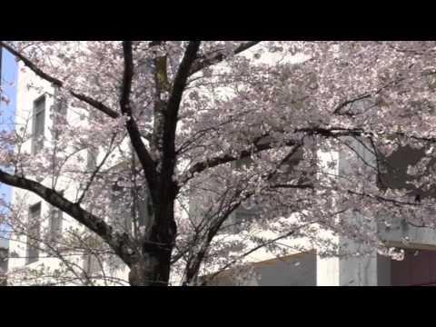 キャンパスの桜 - Cherry Trees in Osaka University, Suita Campus -
