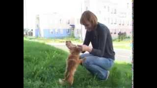 Русский той. Породы собак. Dog breeds, funny, funny cats and dogs