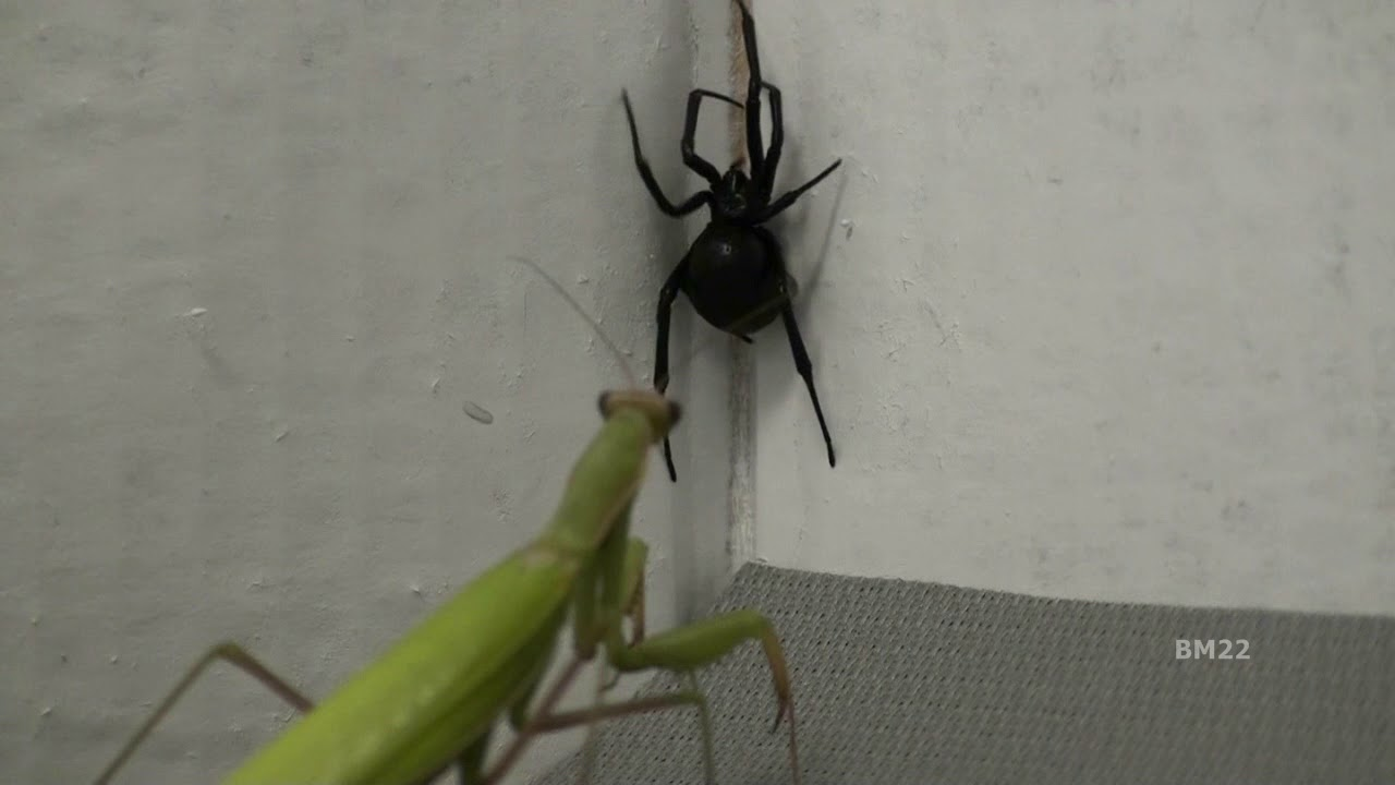 Natural Pest Control How To Use Praying Mantis To Eliminate Black