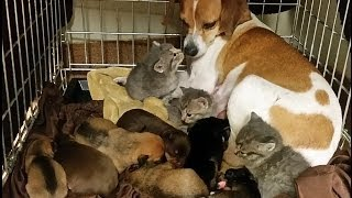 Mother Dog Fostering Kittens thumbnail
