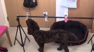 Watson Labradoodle 8 Months Old
