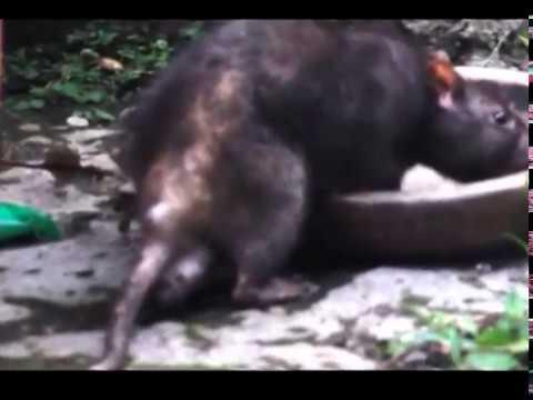 Tikus Got Makan Nasi Remah