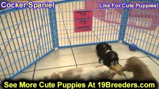 Cocker Spaniel, Puppies, For, Sale, In, Wichita, Kansas, Ks, Pittsburg, Hays, Liberal, Prairie Villa