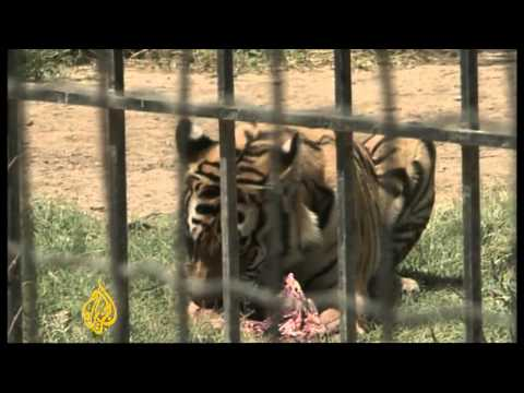 Iraq witnesses Bengal tiger baby boom
