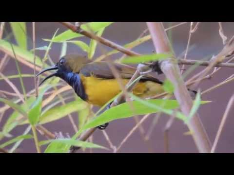 Male Olive-backed Sunbird singing beautiful song loudly