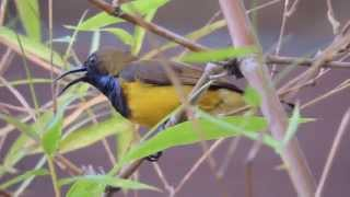Male Brown-throated Sunbird singing beautiful song loudly