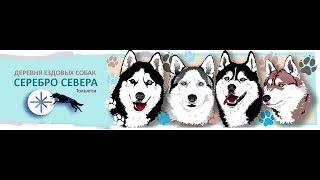 """TuCity TV - Деревня ездовых собак """"Серебро Севера"""""""