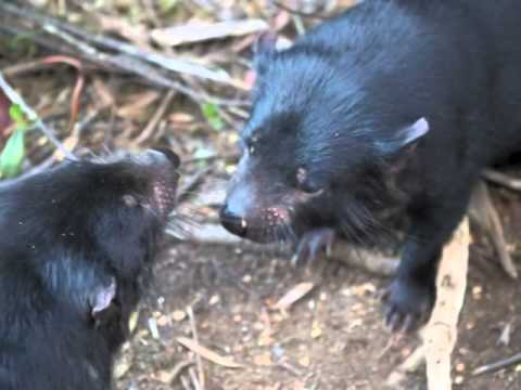 tasmanian devils scream