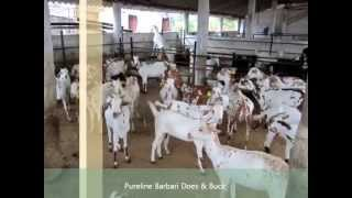 Commercial Goat Farms in India (Part 2) Qureshi Farm